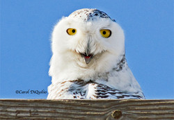Snowy Owl S-16