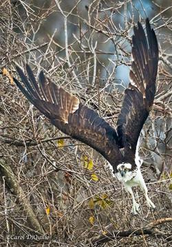 Osprey take off O-4