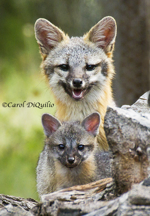 Gray Fox/cub FB-2