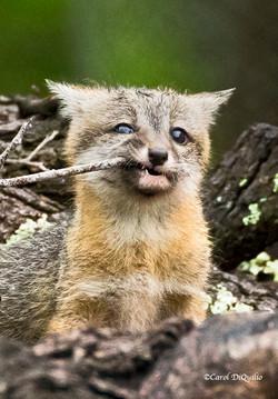 Fox Cub chew stick FB-10