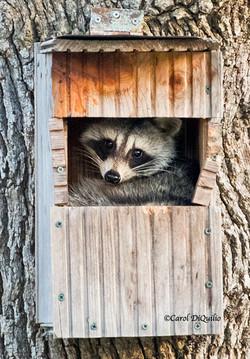 Raccoon R-44
