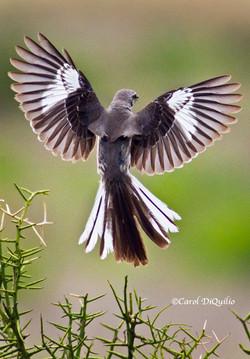Mockingbird M-10