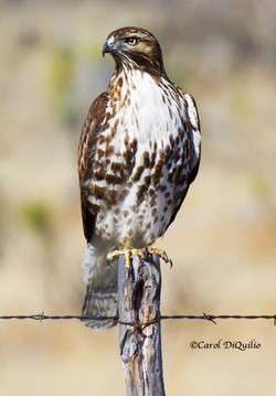 R-5 Red-tailed Hawk