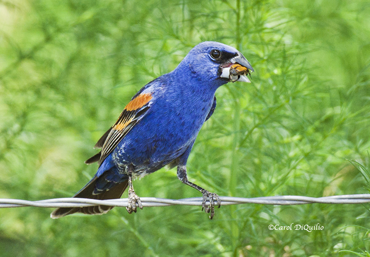 Blue Grosbeak B-32