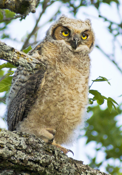 Great Horned owlette G-22