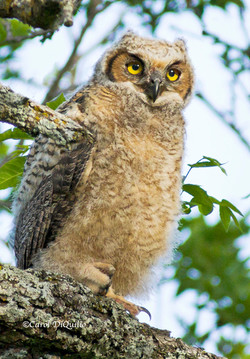 Great Horned owlette G-22
