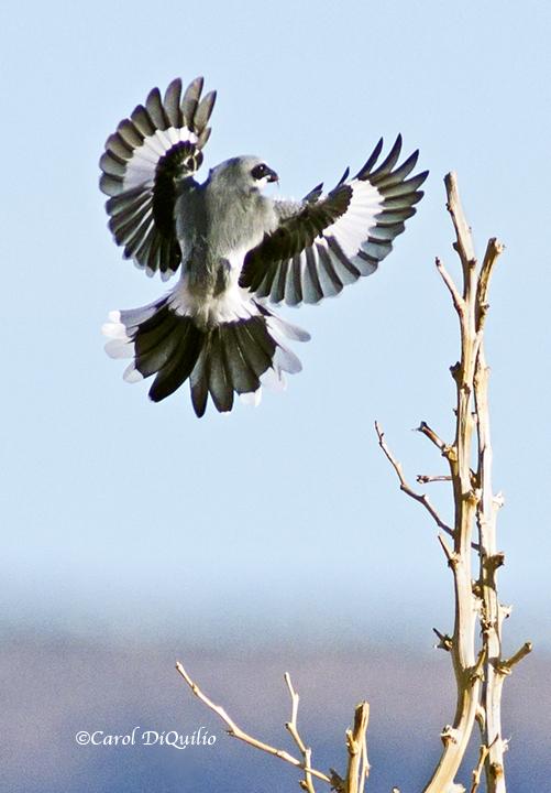 Loggerhead Shrike L-2