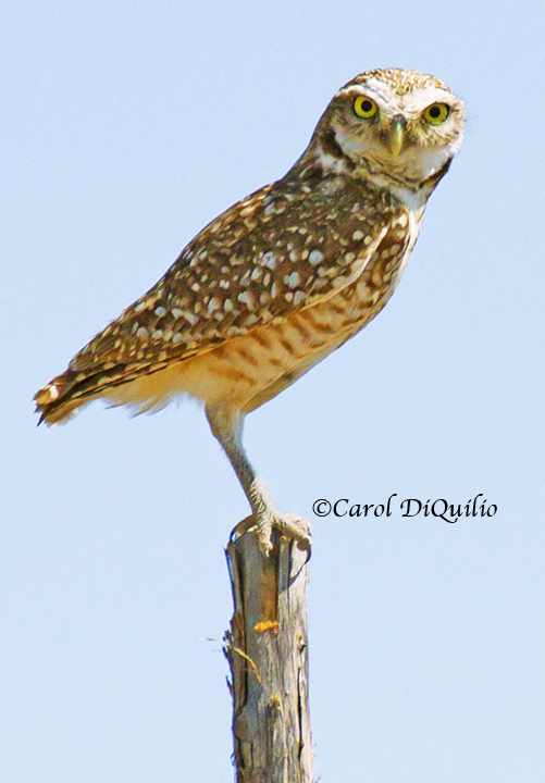 B-8 Burrowing Owl on post