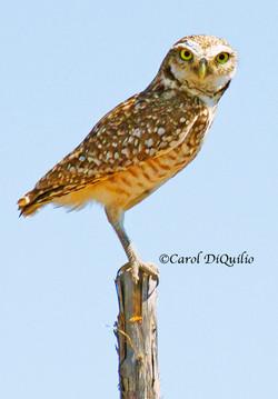 B-8 Burrowing Owl on post
