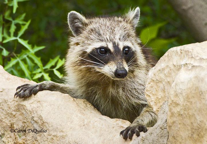 Raccoon R-31