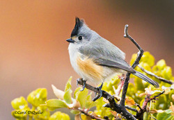 Black-crested Titmouse T-9