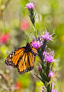 Monarch Butterfly BUTTER-7
