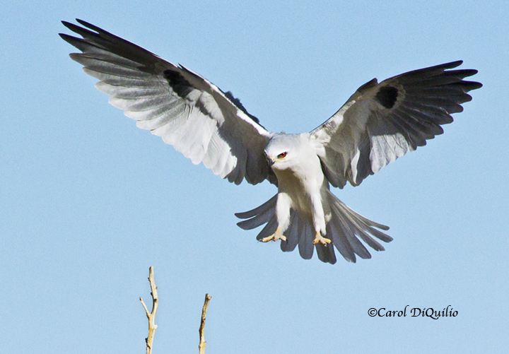 White-tailed Kite landing W-7