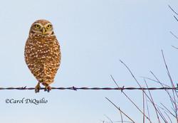 Burrowing Owl B-6
