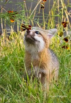 Fox Cub Flowers FB-12
