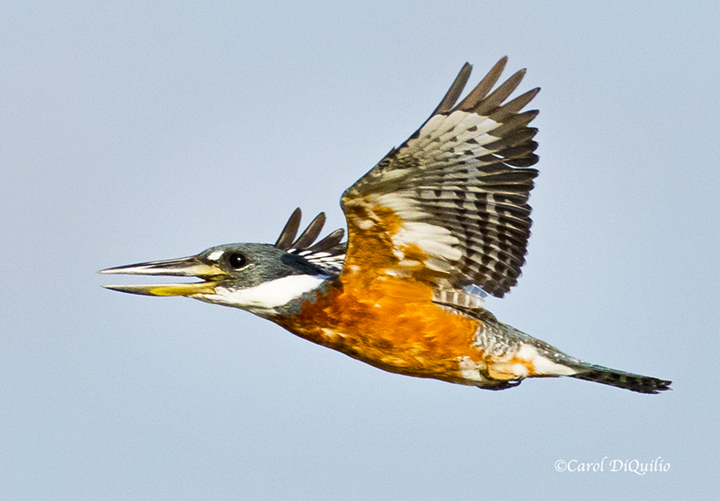 Ringed Kingfisher K-6