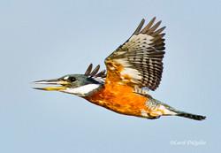 Ringed Kingfisher K-6