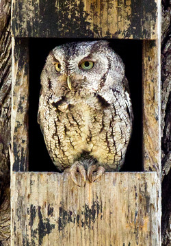 Eastern Screech Owl E-1