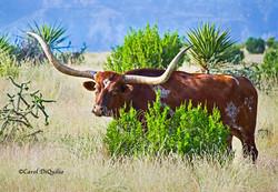 Texas Longhorn T-8