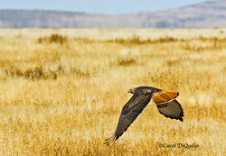 Red-tailed Hawk in desert R-14