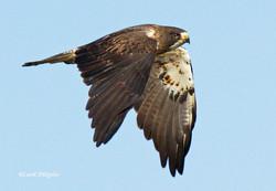 Swainson's Hawk S-7