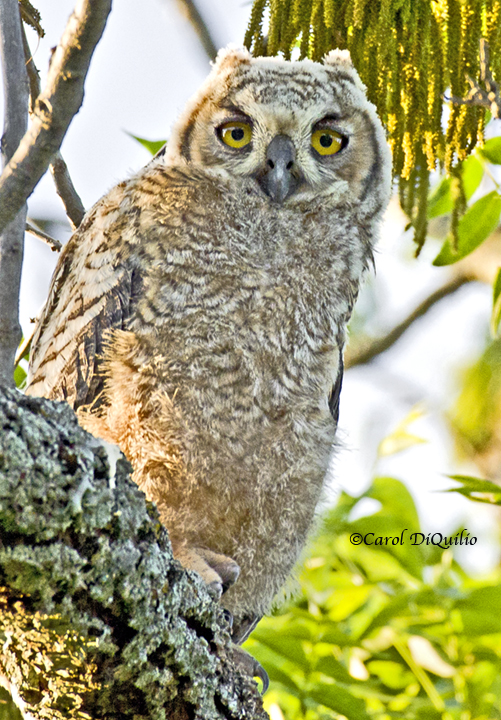 Great Horned Owlet G-15