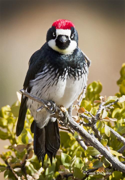 Acorn Woodpecker A-13