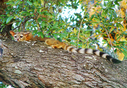 R-7 Ringtail Cat on branch