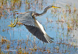 Tricolored Heron H-5