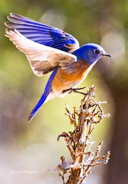 Western Bluebird flying W-11