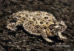 TX Horned Lizard T-3