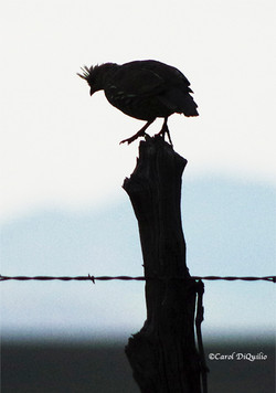 S-2 Scaled Quail silhoutte