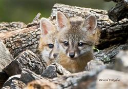 Fox Cubs FB-9