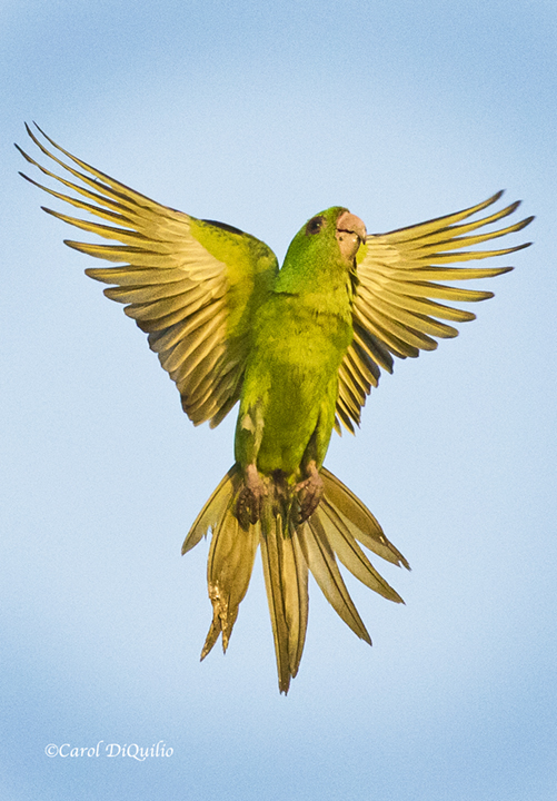 Green Parrot P-24
