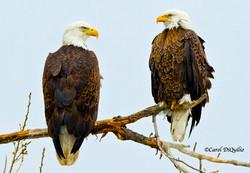 Bald Eagles B-44