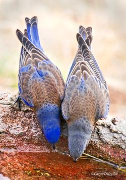 Western Bluebirds drinking W-10