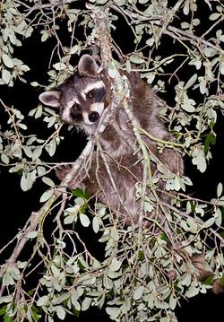 R-8 Raccoon