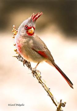 Desert Cardinal D-3