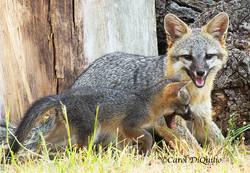 Fox/cub playing FB-6
