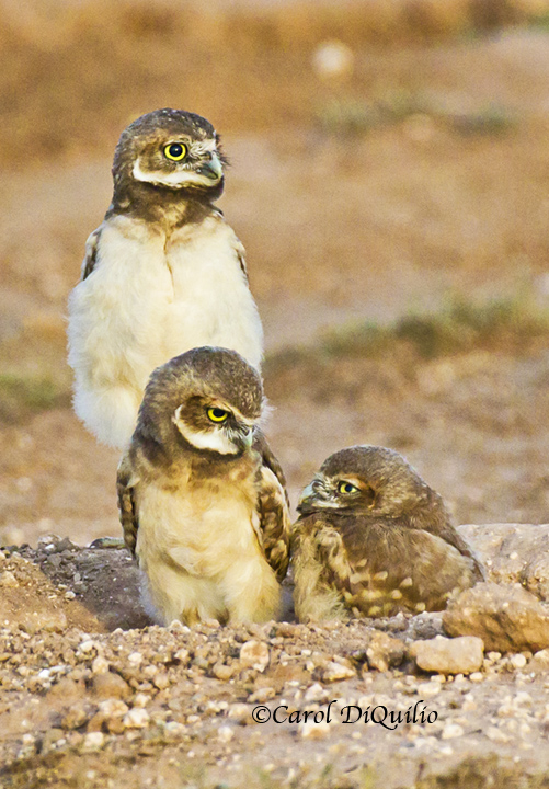 Burrowing Owl babies B-10