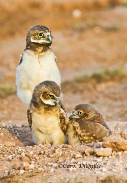 Burrowing Owl babies B-10