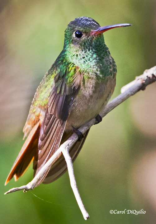 Buff-bellied Hummingbird B-42
