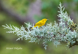 Yellow Warbler Y-2