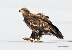 Immature Bald Eagle B-46