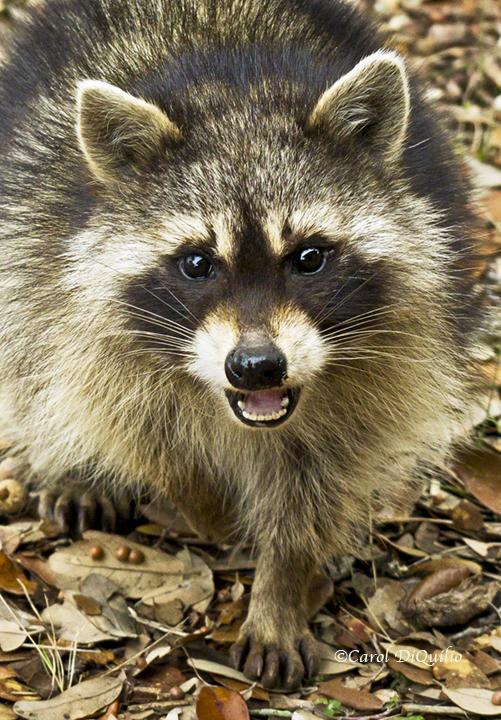 Raccoon R-20