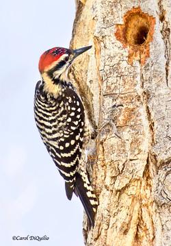 Ladder-backed Woodpecker L-6