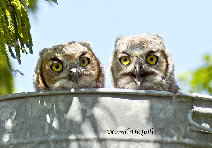 Great Horned owlets G-13