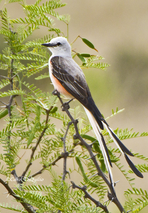 Scissor-tail Flycatcher S-23