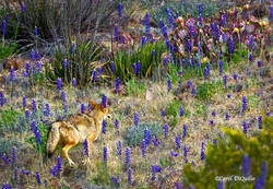 Coyote in Bluebonnets C-10