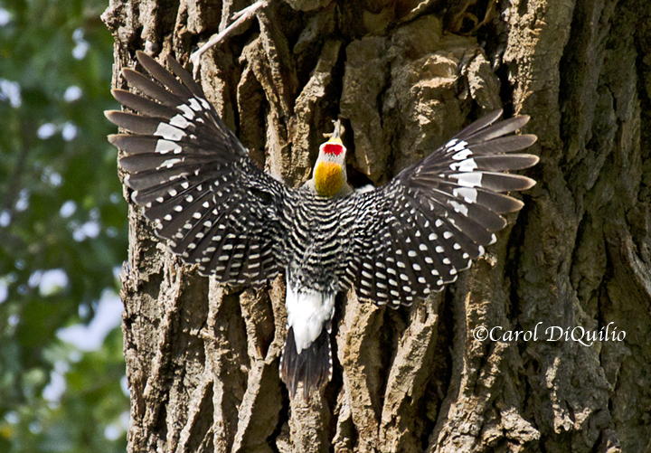 Golden-fronted woodpecker G-2